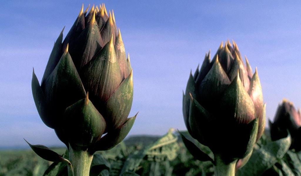 Il carciofo in Sardegna dagli orti familiari alla coltivazione specializzata